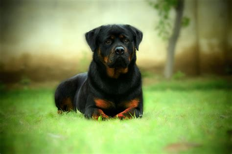 how do you a rottweiler rottweiler wallpapers pictures images