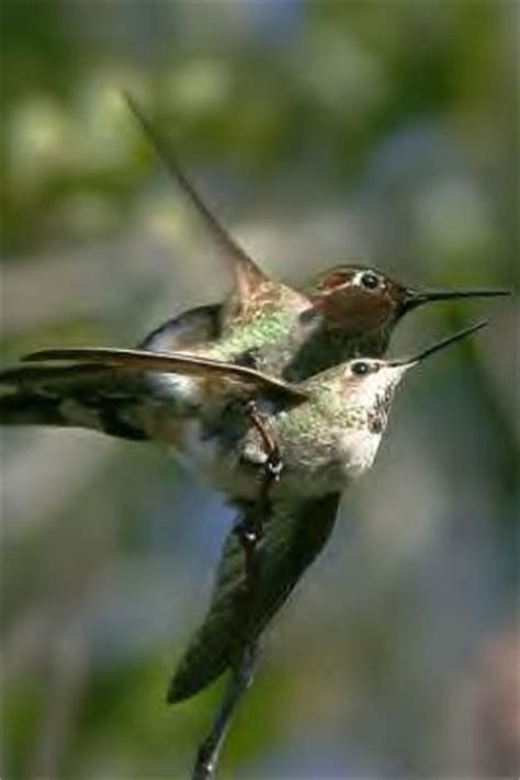 hummingbirds mating and nesting you will enjoy this page