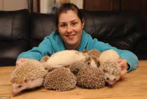 How Much Does It Cost To Do Up A Bathroom 24 Pygmy Hedgehogs Adopted By Animal Lover Daily Mail Online
