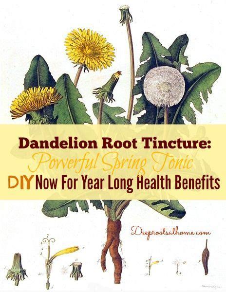 Dandelion Extract Detox by Dandelion Tincture Botanical Print Taraxacum