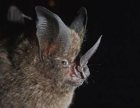 long legged bat life expectancy