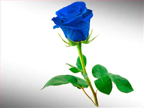 imagenes de rosas negras hermosas hermosas rosas color azul imagenes de rosas