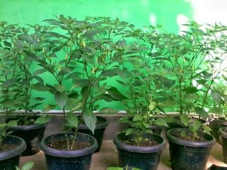 Tray Semai Cabe cara menanam cabe rawit di polybag pot atau halaman rumah