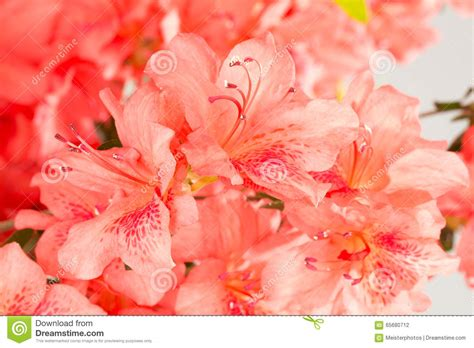 salmon colored flowers background salmon colored flower wallpapers wallskid