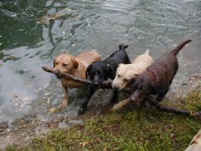 colors of labs endless mountain labradors i hear all chocolate labs are