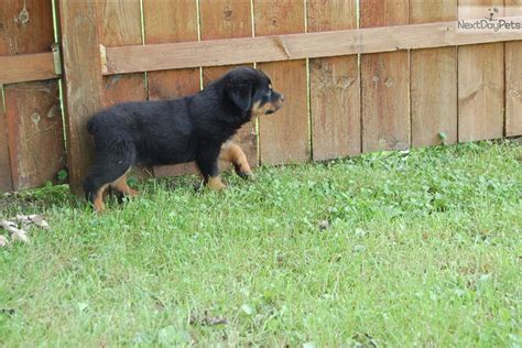 rottweiler puppies for sale in chicago il rottweiler puppy for sale near chicago illinois 7de071ce 5f81