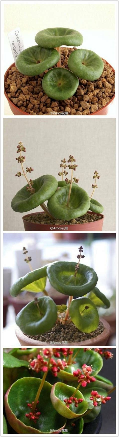 crassula umbella for sale 1000 images about ideas for the newt new house on
