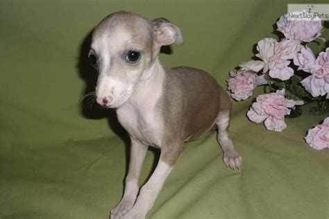 italian greyhound puppies for sale teacup schnauzer puppies for sale uk breeds picture