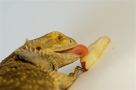 can eat oranges fruit and veg bearded dragons can eat