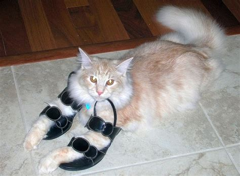 funny cat in shoes cats love shoes new photos kitty bloger