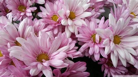 flower wallpaper nz new zealand flowers 4k hd desktop wallpaper for 4k ultra