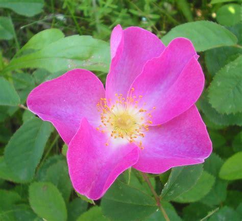 www rose rosa gallica wikipedia