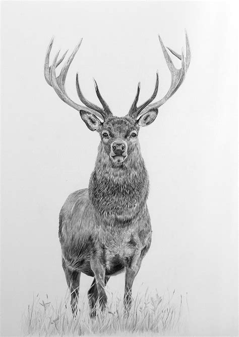 pet drawing art red stag pencil drawing