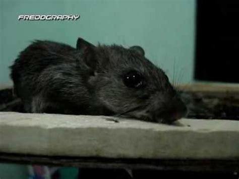 Lem Tikus Glue Rat Trap Lem Tikus