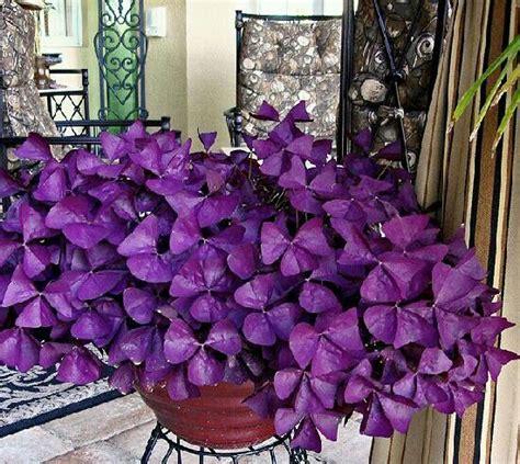 Purple Cover by Oxalis Purple Clover Garden