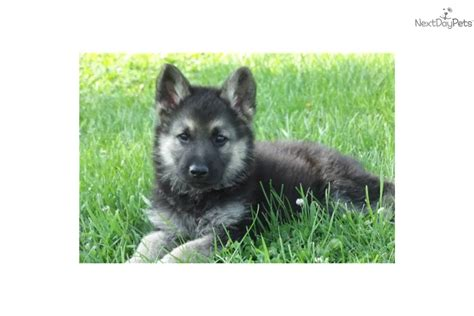 wolf german shepherd puppies timber wolf hybrid for sale just b cause