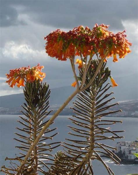 Plant Chandelier Au Cactus Francophone Kalanchoe Tubiflora