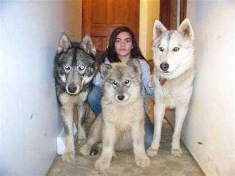wolf hybrid dogs hybrid wolf wolf i looove big doggies what i really want