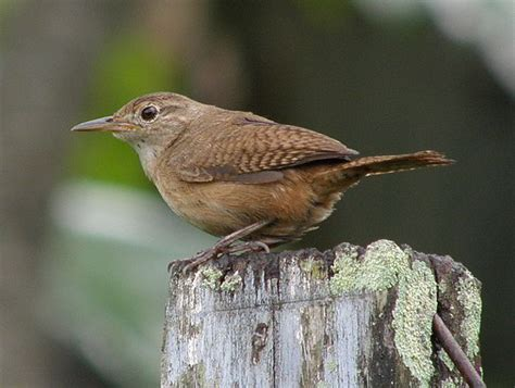 house wren bird birds of trinidad home and garden 1 the common garden birds of trinidad