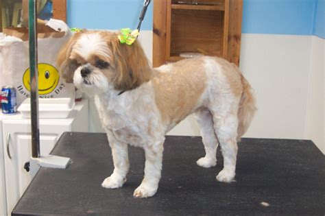 short cut for shih tzu haircuts for shih tzu group picture image tag