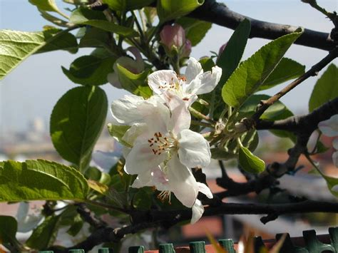 fiori di melo file fiori di melo jpg