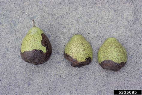 Pyrus Hitam black rot botryosphaeria obtusa on pear pyrus