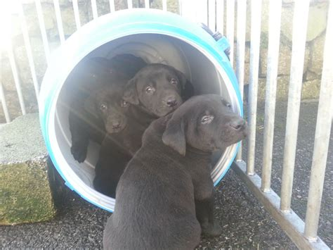 doberman lab mix puppies for sale doberman x labrador puppies for sale stoke on trent staffordshire pets4homes