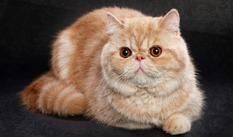 Exotic Shorthair Cat Breed Information