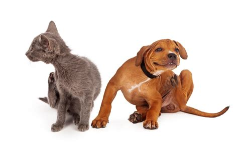 cat fleas vs fleas how to treat fleas on dogs naturally using conventional methods pestwiki