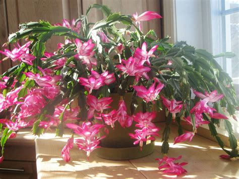 how much darkness do christmas cactus need how to care for and make a cactus bloom world of succulents