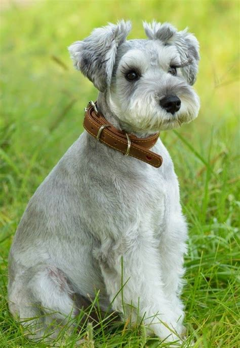 schnauzer hair styles adorable dog pinteres