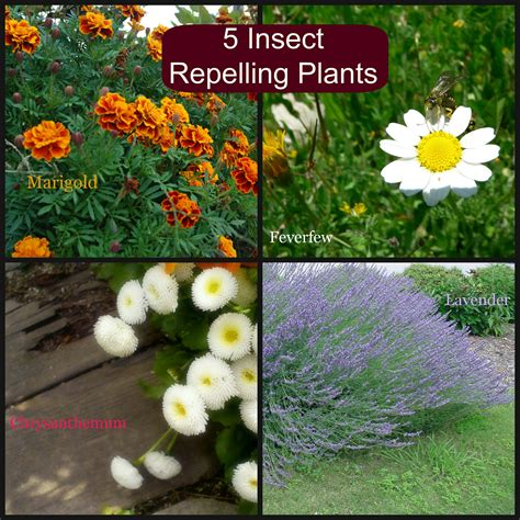 5 insect repelling plants