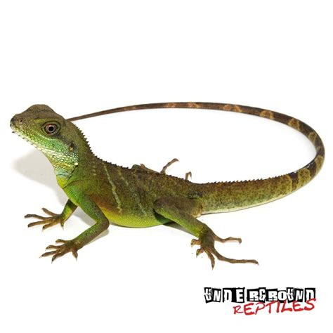 chinese water dragon lighting baby chinese water dragons for sale underground reptiles