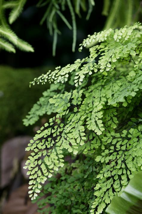 Maidenhair fern burke s backyard