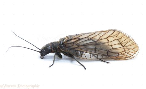 Home Sketch alder fly photo wp24650