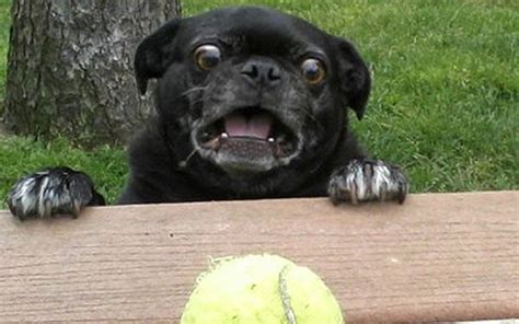 why pugs black pugs www pixshark images galleries with a bite