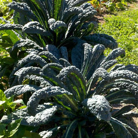 lacinato kale dark green highly nutritious and great tasting
