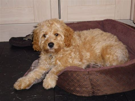 cavapoo puppies breeders cavapoo cavalier king charles spaniel mix info temperament pictures