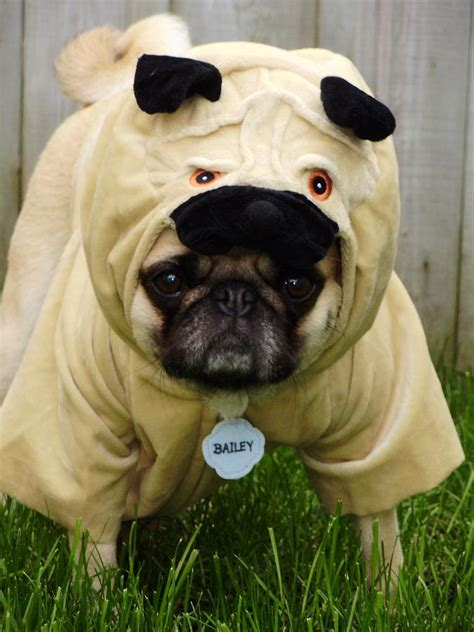 pug in a costume pug costume photograph by tina moreau