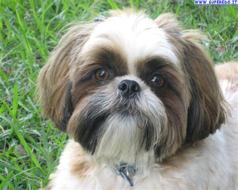 what is a shih tzu lhasa apso shih tzu shih apso or lhasa tzu breeds picture