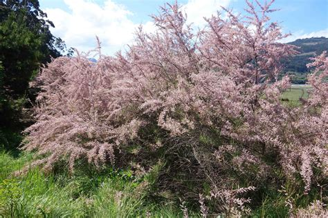 tree pictures tamarisk the manna tree cannon s nature notes