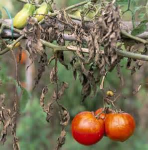 Tomato Plant Disease Treatment - a new cure for fungal diseases gardening at leisure