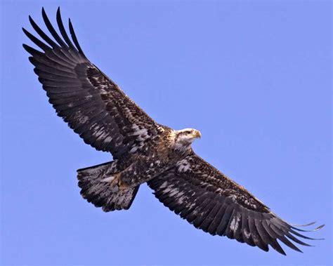 bald eagle birds guide bald eagle audubon field guide