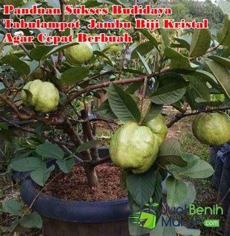 Jambu Tanpa Biji Sukun Putih Sudah Berbuah 4 panduan sukses budidaya tabulot tanaman buah jambu biji agar tumbuh optimal dan