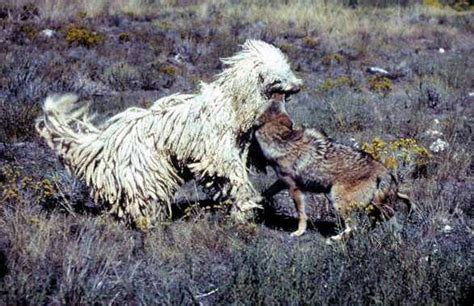 coyote vs komondor vs coyote history
