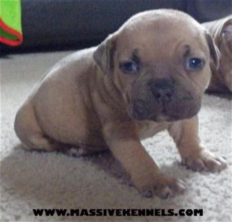tri color pitbull puppies purple tri color pitbull puppies bed mattress sale