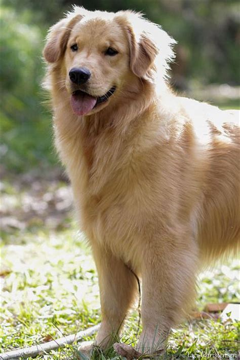 golden retriever breeders ontario reviews 1000 images about gorgeous dogs on newfoundland puppys and black cockapoo