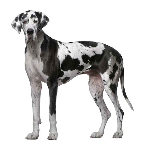 great dane great dane the world s tallest breed information and images k9rl