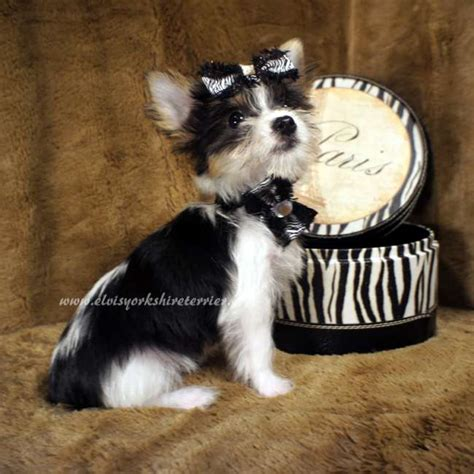 teacup parti yorkie for sale akc teacup parti yorkie for sale elvis