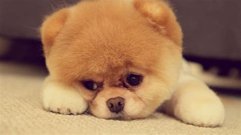 cutest pomeranians pomeranian puppy on the floor wallpaper 17134